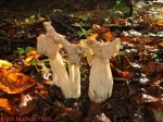 Herbst-Lorchel ( Helvella crispa )